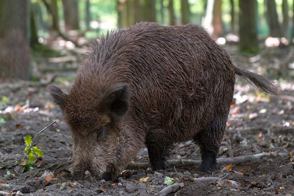 wildschwein-wildpark-schwarze-berge